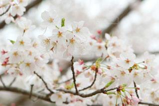 風景,花,春,屋外,ピンク,景色,桜の花,さくら,ブロッサム