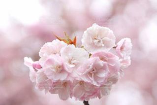 花,桜,屋外,ピンク,花束,景色,花びら,草木,桜の花,さくら,ブルーム,ブロッサム