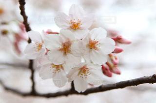 花,春,桜,屋外,枝,景色,草木,桜の花,さくら,ブルーム,ブロッサム