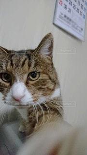 猫,自撮り,動物,屋内,茶色,ペット,人物,カレンダー,ネコ,石油ヒーター