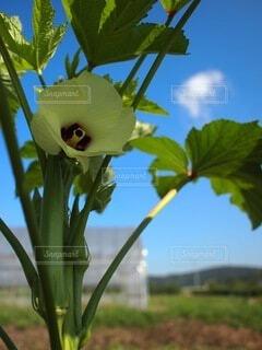 食べ物,青空,田舎,野菜,食品,オクラ,農業,食材,フレッシュ,ベジタブル,おくら