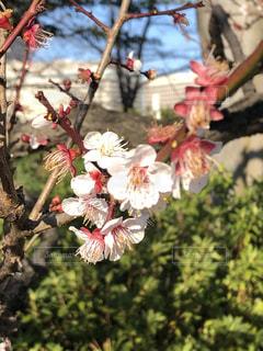大阪の早春の梅の写真・画像素材[3042029]