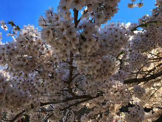 花,春,桜,屋外,ピンク,晴れ,花びら,満開,樹木,お花見,ソメイヨシノ,さくら,ブルーム,ブロッサム