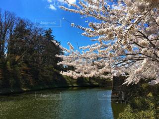 自然,空,花,春,屋外,湖,ピンク,太陽,きれい,晴れ,青空,水面,池,花見,花びら,樹木,キラキラ,お堀,堀,草木,ソメイヨシノ,さくら,ブロッサム,山腹
