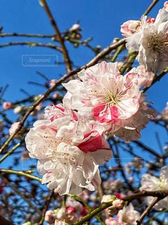 空,花,春,桜,木,屋外,ピンク,青空,青い空,樹木,アップ,快晴,草木,桜の花,さくら,ブルーム,ブロッサム