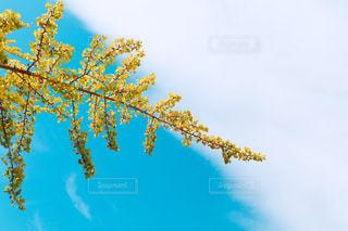 色付く銀杏の木の葉と実の写真・画像素材[2989506]