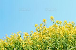 空と菜の花の写真・画像素材[2998716]