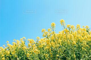 空と菜の花の写真・画像素材[2998717]