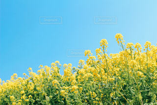 空と菜の花の写真・画像素材[2998725]