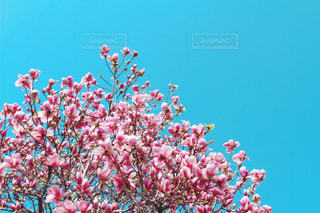 満開の更紗木蓮(サラサモクレン)の写真・画像素材[3000558]