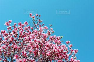 満開の更紗木蓮(サラサモクレン)の写真・画像素材[3000559]