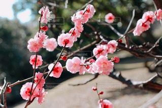早春の紅梅の写真・画像素材[3015932]
