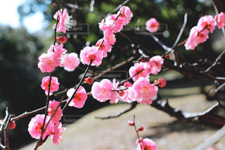早春の紅梅の写真・画像素材[3015934]
