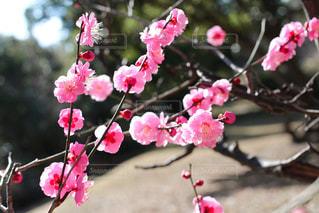 早春の紅梅の写真・画像素材[3015935]