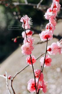 早春の紅梅の写真・画像素材[3019300]