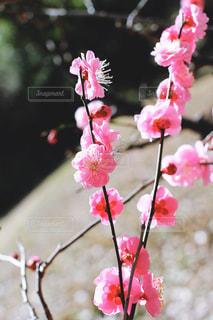 早春の紅梅の写真・画像素材[3019312]