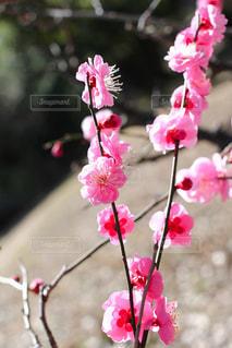 早春の紅梅の写真・画像素材[3019333]