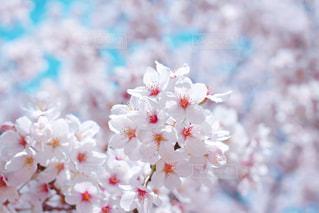 満開の染井吉野の写真・画像素材[3038670]