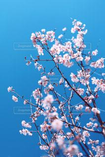 薄桃色の桜花の写真・画像素材[3049803]