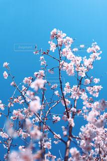 薄桃色の桜花の写真・画像素材[3049805]