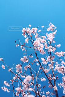 薄桃色の桜花の写真・画像素材[3049808]