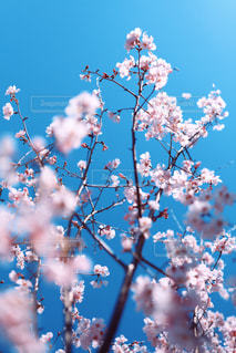 薄桃色の桜花の写真・画像素材[3049818]