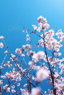 薄桃色の桜花の写真・画像素材[3049822]