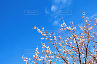 早春の白梅の写真・画像素材[3051451]