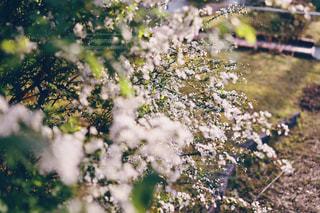 雪柳の咲く頃の写真・画像素材[3056301]