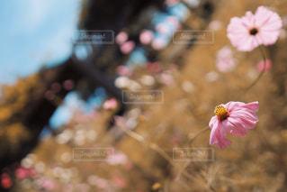 萎れそうなピンクの秋桜の写真・画像素材[3058719]