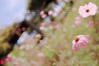 萎れそうなピンクの秋桜の写真・画像素材[3058735]