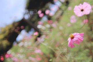 萎れそうなピンクの秋桜の写真・画像素材[3058785]
