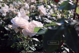 咲き誇る白薔薇(チャイコフスキー)の写真・画像素材[3066742]