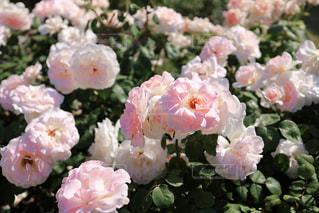 クリームピンクの薔薇(エンプレス・ミチコ)の写真・画像素材[3067154]