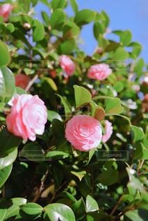 桃色の乙女椿の写真・画像素材[3067562]