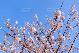咲き誇る桜花(染井吉野)の写真・画像素材[3072784]