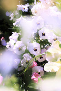 ふんわり春の白いパンジーの写真・画像素材[3076674]