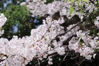 咲き終わりの桜(染井吉野)の写真・画像素材[3080884]