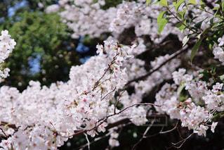 咲き終わりの桜(染井吉野)の写真・画像素材[3080887]