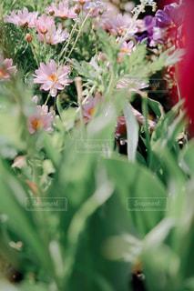 ピンクのマーガレットの写真・画像素材[3163843]