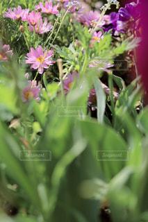 ピンクのマーガレットの写真・画像素材[3163871]