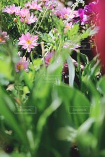 ピンクのマーガレットの写真・画像素材[3163873]