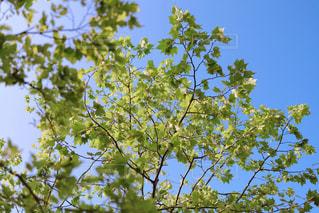 新緑の楓の写真・画像素材[3168444]
