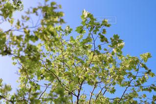 新緑の楓の写真・画像素材[3169294]