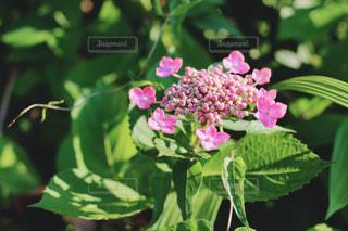 桃色の額紫陽花の写真・画像素材[3171488]