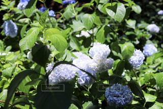 ペールブルーの紫陽花の写真・画像素材[3173172]