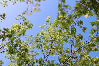 新緑の楓の写真・画像素材[3190015]