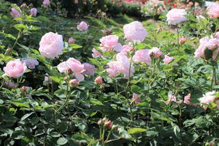 薄桃色の薔薇(マサコ・エグランタイン)の写真・画像素材[3200163]