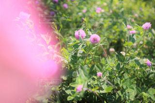 陽だまりの赤詰草・紫詰草(ピンク+)の写真・画像素材[3205715]