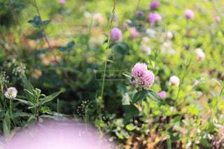 陽だまりの赤詰草・紫詰草(ピンク±0)の写真・画像素材[3207351]